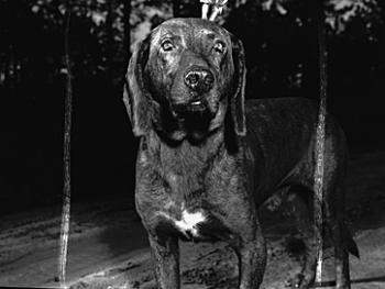 Plott Hound: The State Dog